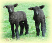 Twin colored Wensleydale lambs